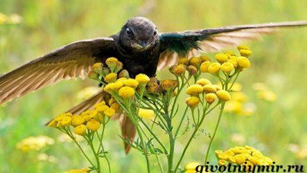 Стриж птица. Образ жизни и среда обитания стрижа