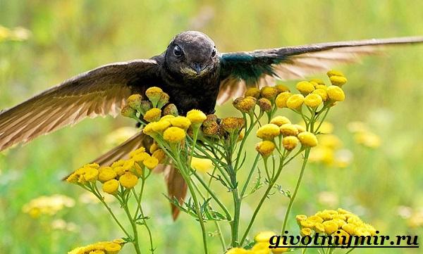 Стриж-птица-Образ-жизни-и-среда-обитания-стрижа-12