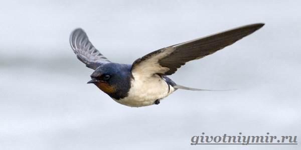 Стриж-птица-Образ-жизни-и-среда-обитания-стрижа-2