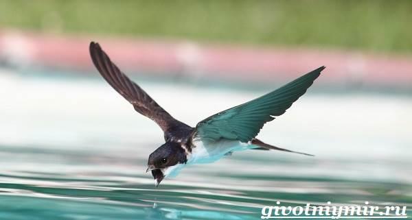 Стриж-птица-Образ-жизни-и-среда-обитания-стрижа-3