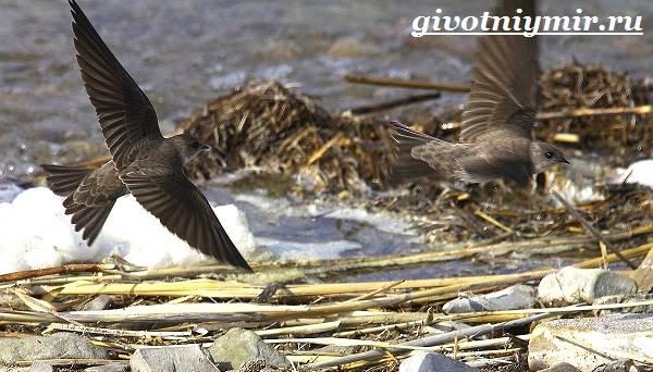 Стриж-птица-Образ-жизни-и-среда-обитания-стрижа-4