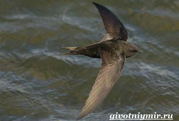 Стриж-птица-Образ-жизни-и-среда-обитания-стрижа-5