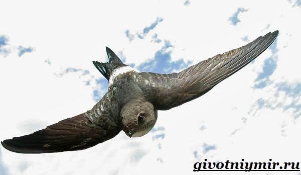 Стриж-птица-Образ-жизни-и-среда-обитания-стрижа-6