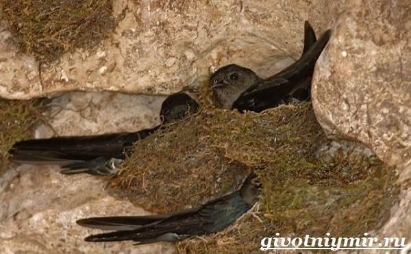 Стриж-птица-Образ-жизни-и-среда-обитания-стрижа-7