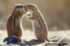 Суслик животное. Образ жизни и среда обитания суслика