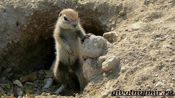 Суслик-животное-Образ-жизни-и-среда-обитания-суслика-4