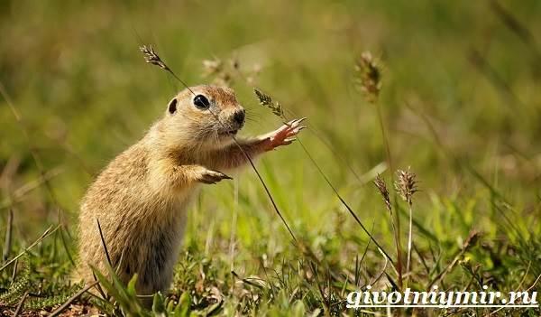 Суслик-животное-Образ-жизни-и-среда-обитания-суслика-5