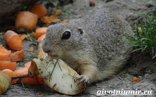 Суслик-животное-Образ-жизни-и-среда-обитания-суслика-7
