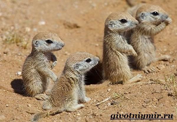 Суслик-животное-Образ-жизни-и-среда-обитания-суслика-8