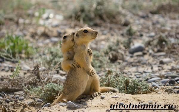 Суслик-животное-Образ-жизни-и-среда-обитания-суслика-9