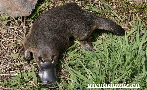 Утконос-животное-Образ-жизни-и-среда-обитания-утконоса-2