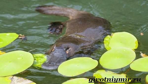 Утконос-животное-Образ-жизни-и-среда-обитания-утконоса-4