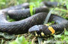 Уж змея. Образ жизни и среда обитания ужа