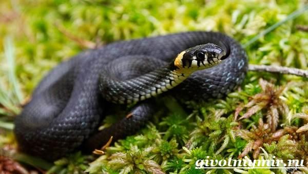 Уж-змея-Образ-жизни-и-среда-обитания-ужа-2
