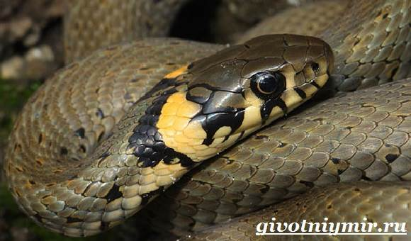 Уж-змея-Образ-жизни-и-среда-обитания-ужа-3