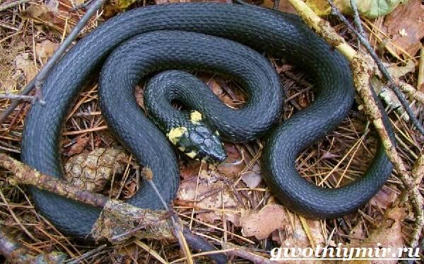 Уж-змея-Образ-жизни-и-среда-обитания-ужа-5