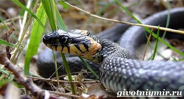 Уж-змея-Образ-жизни-и-среда-обитания-ужа-8