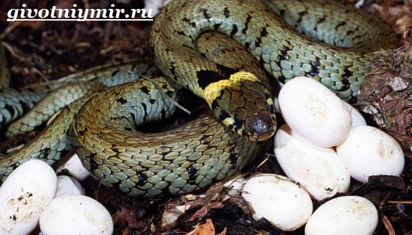 Уж-змея-Образ-жизни-и-среда-обитания-ужа-9