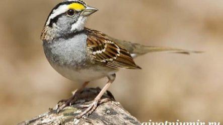 Воробей птица. Образ жизни и среда обитания воробья