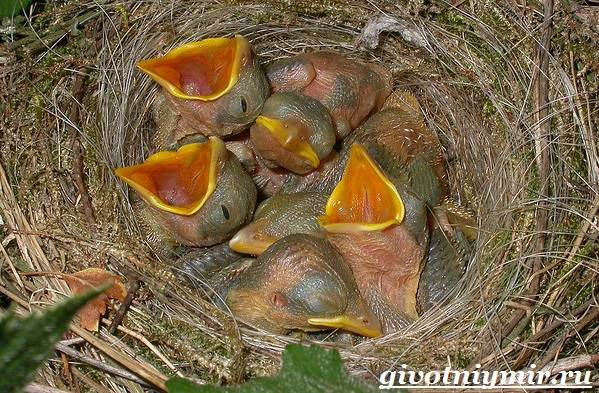 Воробей-птица-Образ-жизни-и-среда-обитания-воробья-11
