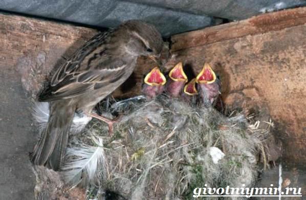 Воробей-птица-Образ-жизни-и-среда-обитания-воробья-12