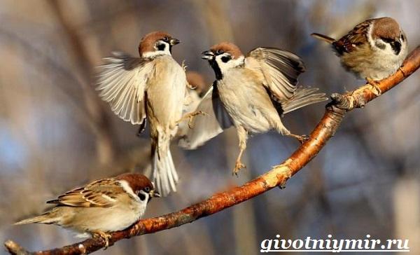 Воробей-птица-Образ-жизни-и-среда-обитания-воробья-2