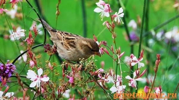 Воробей-птица-Образ-жизни-и-среда-обитания-воробья-3