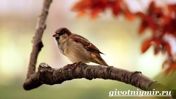 Воробей-птица-Образ-жизни-и-среда-обитания-воробья-4