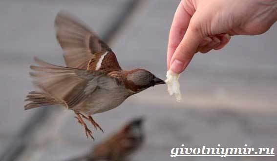 Воробей-птица-Образ-жизни-и-среда-обитания-воробья-5