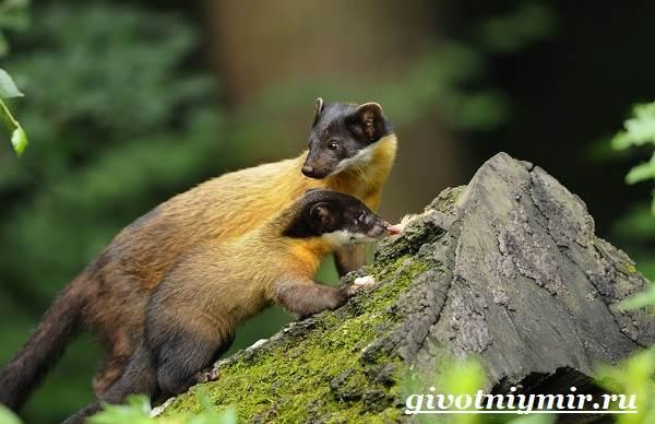 Харза-животное-Среда-обитания-и-образ-жизни-харзы-10