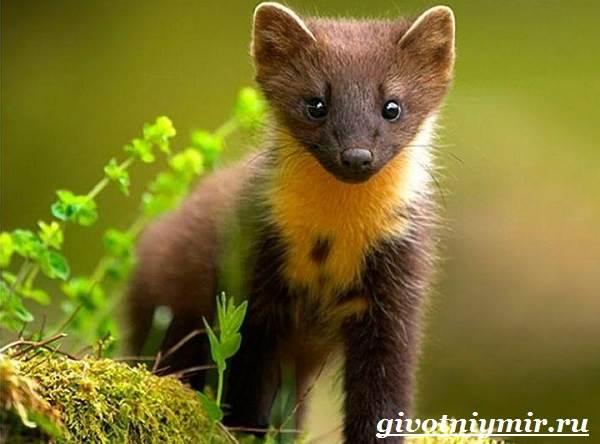 Харза-животное-Среда-обитания-и-образ-жизни-харзы-11