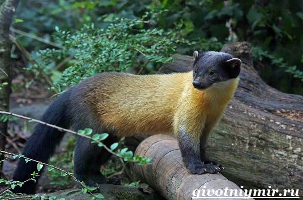 Харза-животное-Среда-обитания-и-образ-жизни-харзы-2