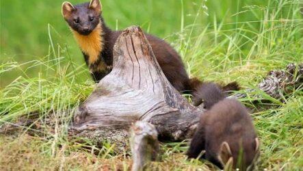 Харза животное. Среда обитания и образ жизни харзы