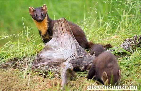 Харза-животное-Среда-обитания-и-образ-жизни-харзы-4
