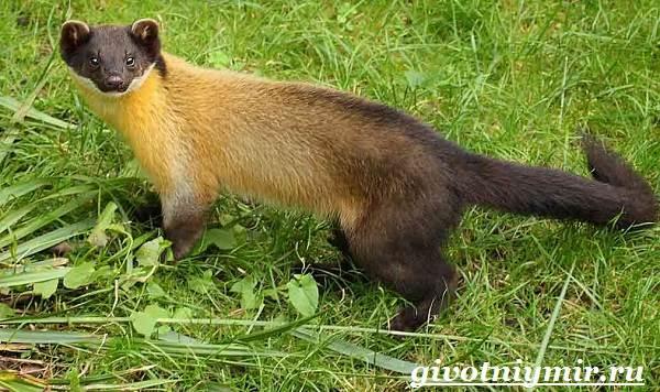 Харза-животное-Среда-обитания-и-образ-жизни-харзы-6