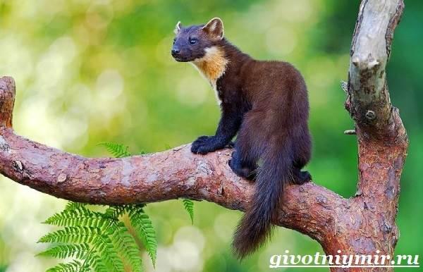 Харза-животное-Среда-обитания-и-образ-жизни-харзы-7