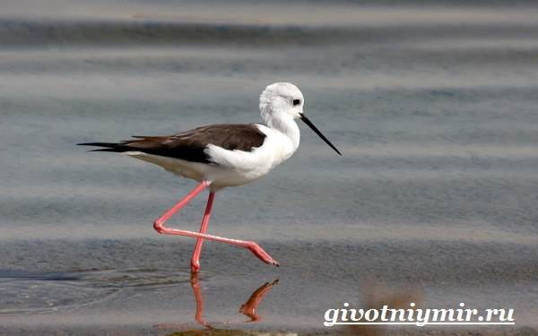 Ходулочник-птица-Среда-обитания-и-образ-жизни-ходулочника-3