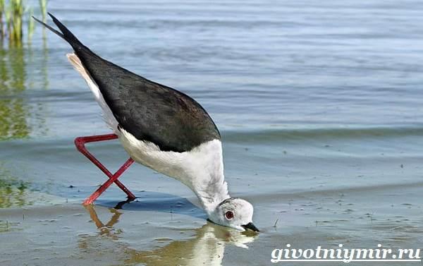 Ходулочник-птица-Среда-обитания-и-образ-жизни-ходулочника-5
