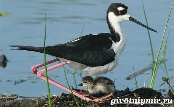Ходулочник-птица-Среда-обитания-и-образ-жизни-ходулочника-8