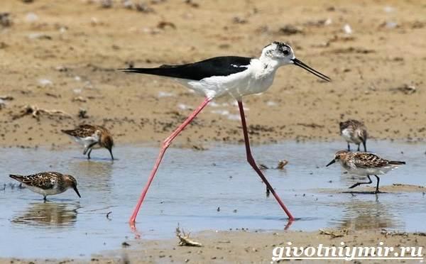 Ходулочник-птица-Среда-обитания-и-образ-жизни-ходулочника-9