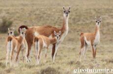 Животное гуанако. Образ жизни и среда обитания ламы гуанако