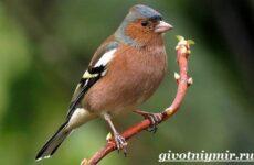 Зяблик птица. Образ жизни и среда обитания зяблика