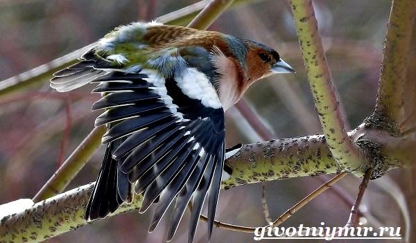 Зяблик-птица-Образ-жизни-и-среда-обитания-зяблика-10