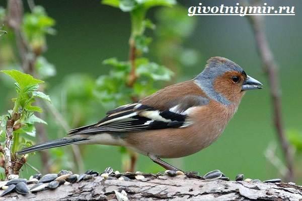 Зяблик-птица-Образ-жизни-и-среда-обитания-зяблика-2