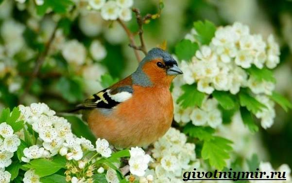 Зяблик-птица-Образ-жизни-и-среда-обитания-зяблика-3