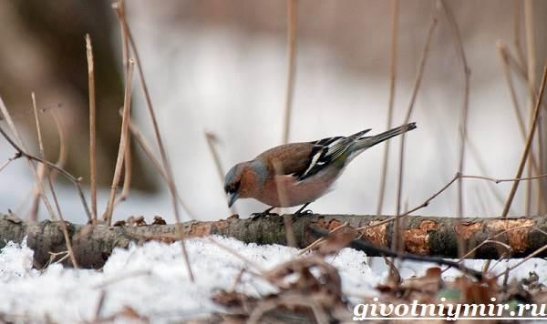 Зяблик-птица-Образ-жизни-и-среда-обитания-зяблика-4