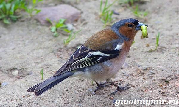 Зяблик-птица-Образ-жизни-и-среда-обитания-зяблика-6
