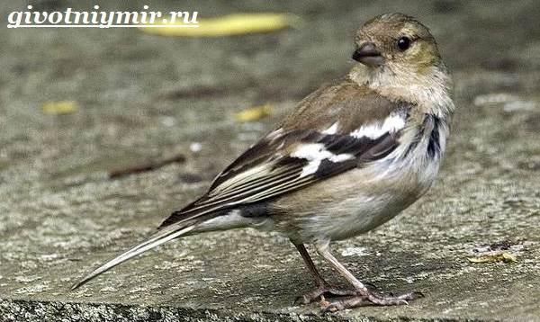 Зяблик-птица-Образ-жизни-и-среда-обитания-зяблика-7