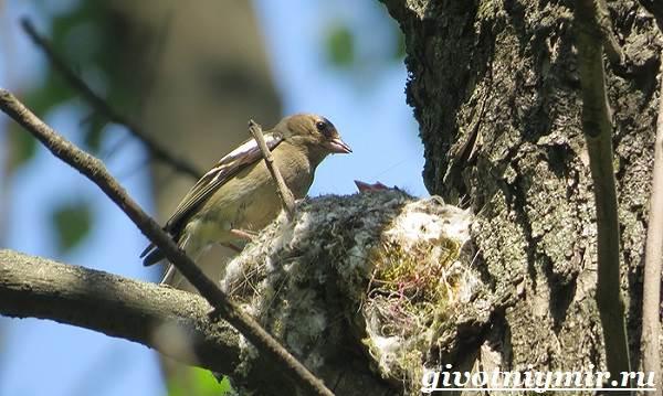 Зяблик-птица-Образ-жизни-и-среда-обитания-зяблика-8