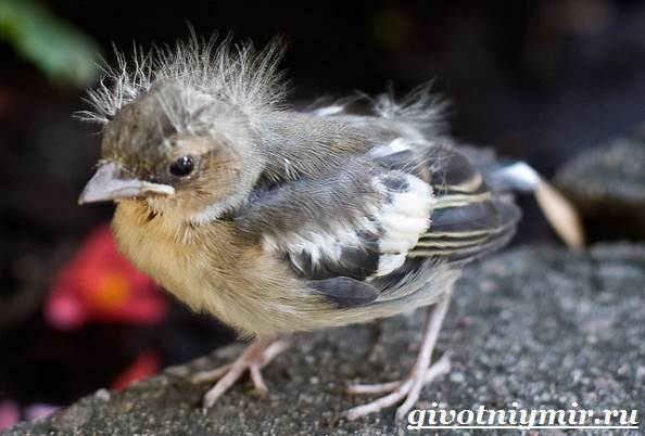 Зяблик-птица-Образ-жизни-и-среда-обитания-зяблика-9